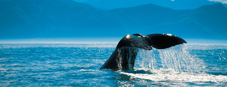 Whale-New-Zealand