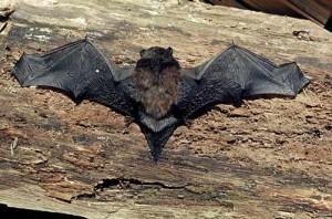 bat New Zealand