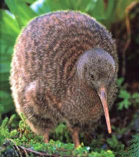 kiwi New Zealand
