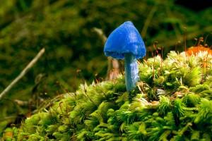 blue mushroom New Zealand