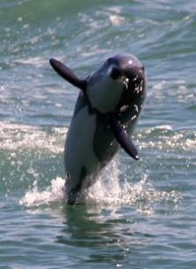 hectors dolphin